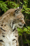 Lynx. A lynx observed his surroundings Royalty Free Stock Photography