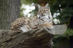 LYNX. Wild cat sleeping lynx on tree Royalty Free Stock Photography