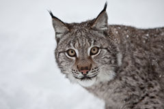 Lynx. A female Lynx in Northern Norway Royalty Free Stock Photos
