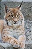 lynx Стоковые Фото