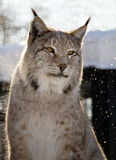 Lynx. Cute lynx with yellow eyes Stock Photo