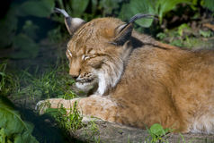 Lynx. A beautiful lynx is sleeping and enjoyed the sun Royalty Free Stock Image