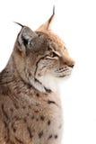 Lynx Royalty-vrije Stock Afbeelding