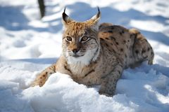 Lynx. Wild Lynx is in the natural environment of dwelling Royalty Free Stock Images
