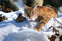 Lynx. A lynx is in the natural environment of habitation Stock Image