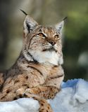 Lynx. Portrait of Lynx on a beautiful background Royalty Free Stock Photo