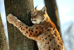 Lynx. In the natural environment of habitation Royalty Free Stock Image