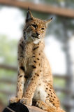 Lynx. On the blurred background Stock Photo
