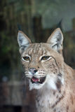 Lynx. Royalty Free Stock Photos