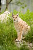 Lynx Photographie stock
