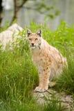 Lynx Stock Fotografie