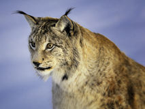 европейский lynx Стоковые Фото