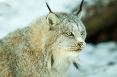 Lynx. Canadian Lynx staring in winter Stock Photos