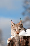 Lynx. In winter on tree stump Stock Photo