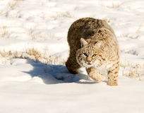 Lynx. Running in fresh snow Stock Images