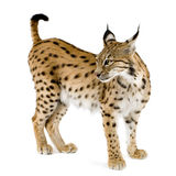 Lynx (2 ans) Images stock