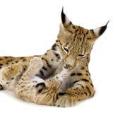 Lynx (2 jaar) en haar welp Stock Fotografie