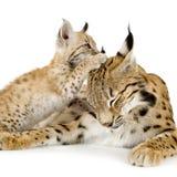 Lynx (2 jaar) en haar welp Stock Foto