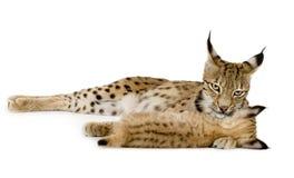 Lynx (2 jaar) en haar welp Stock Foto's