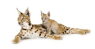 Lynx (2 jaar) en haar welp Stock Afbeelding