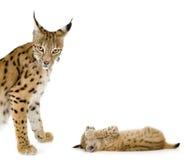 Lynx (2 jaar) en haar welp Royalty-vrije Stock Afbeelding