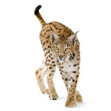 Lynx (2 years). Lynx in front of a white background Stock Image