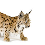 Lynx (2 years). Lynx in front of a white background Stock Images