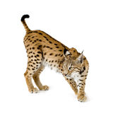 Lynx (2 years). Lynx in front of a white background Royalty Free Stock Photo