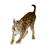 Lynx (2 years). Lynx in front of a white background Royalty Free Stock Images