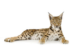 Lynx (2 years) Royalty Free Stock Photography