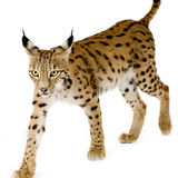 Lynx (2 years). Lynx in front of a white background Stock Photos