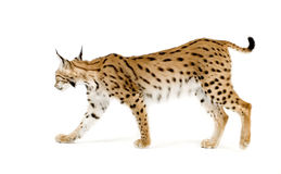 Lynx (2 years). Lynx in front of a white background Stock Photo