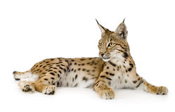 Lynx (2 years). Lynx in front of a white background Royalty Free Stock Photos