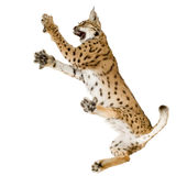 Lynx (2 years) Royalty Free Stock Images