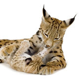 Lynx (2 years) and her cub. (2 months) in front of a white background Stock Photography