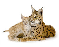 Lynx (2 years) and her cub Stock Photography