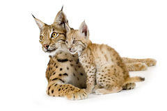 Lynx (2 years) and her cub. (2 months) in front of a white background Royalty Free Stock Images