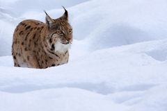 Lynx. In Bavorsko park on winter Royalty Free Stock Photography