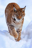 Lynx. In Bavorsko park on winter Royalty Free Stock Photo