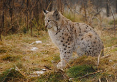 Lynx. A beautiful young lynx at Langedrag Wldlifepark in Tunhovd, Norway Stock Image