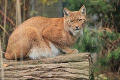 Lynx. The lying lynx on the fallen wood trunk Royalty Free Stock Photo