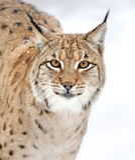 Lynx в зиме Стоковое Фото