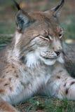 Lynx Royalty-vrije Stock Foto's