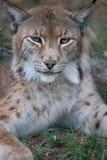 Lynx Stock Afbeelding
