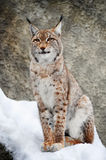 Lynx. In the winter, beautiful fur Stock Images