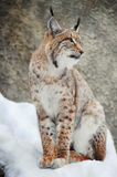 Lynx. In the winter, beautiful fur Royalty Free Stock Image