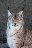 Lynx. Portrait, head and shoulders shot, dark background Royalty Free Stock Photo
