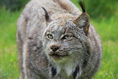 A lynx Royalty Free Stock Photography
