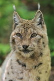 Lynx. The detail of upper body of lynx Stock Image