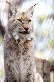 Lynx. Siberian lynx kitten pays no attention for a photographer Stock Photography